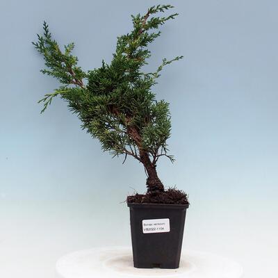 Outdoor bonsai -Larix decidua - Larch - 1