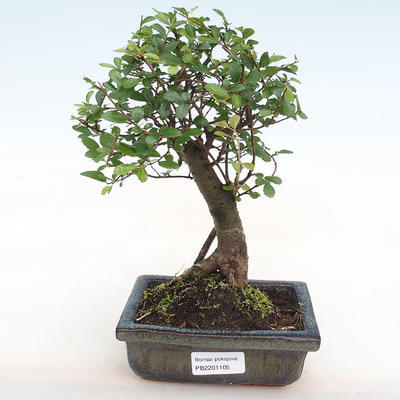 Indoor bonsai-Ulmus Parvifolia-Small-leaved elm PB2201105