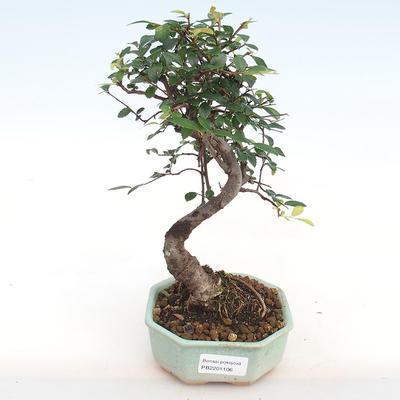 Indoor bonsai-Ulmus Parvifolia-Small-leaved elm PB2201106