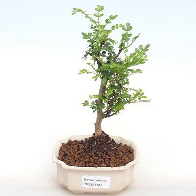 Indoor bonsai - Zantoxylum piperitum - Pepper PB2201107 - 1