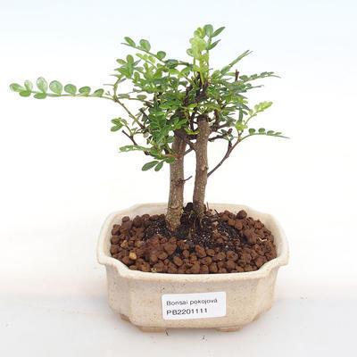Indoor bonsai - Zantoxylum piperitum - Pepper PB2201111 - 1
