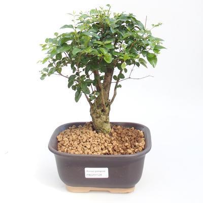 Indoor bonsai -Ligustrum chinensis - Bird's beak PB2201128 - 1