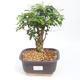Indoor bonsai -Ligustrum chinensis - Bird's beak PB2201128 - 1/3