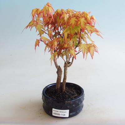 Outdoor bonsai - Acer palmatum Orange - 1
