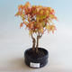 Outdoor bonsai - Acer palmatum Orange - 1/2