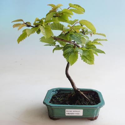 Outdoor bonsai - Hornbeam - Carpinus betulus