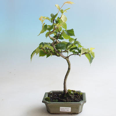 Outdoor bonsai - Hornbeam - Carpinus betulus