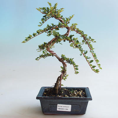 Outdoor bonsai-Cotoneaster horizontalis-Rock Garden - 1
