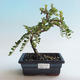 Outdoor bonsai-Cotoneaster horizontalis-Rock Garden - 1/2
