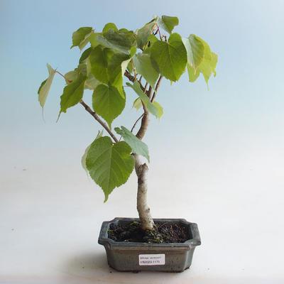 Outdoor bonsai - Linden - Tilia cordata