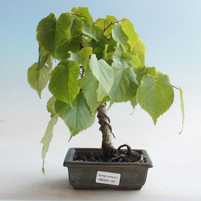 Outdoor bonsai - Linden - Tilia cordata