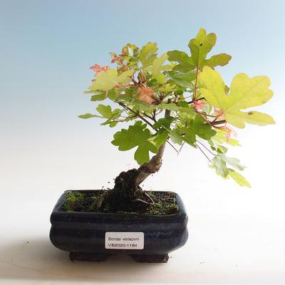 Outdoor bonsai-Acer campestre-Babyka maple - 1