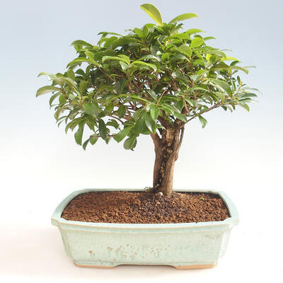 Indoor Bonsai - Australian Cherry - Eugenia uniflora - 1