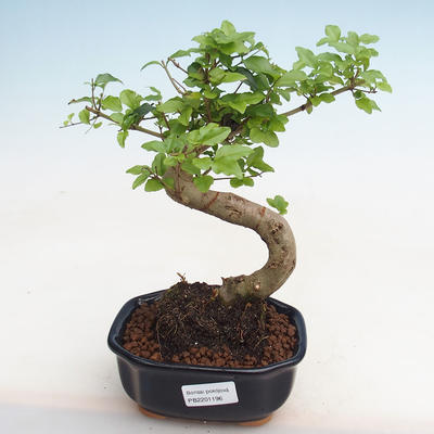 Indoor bonsai -Ligustrum chinensis - Bird's beak PB2201196