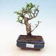 Indoor bonsai - Carmona macrophylla - Tea fuki - 1/5