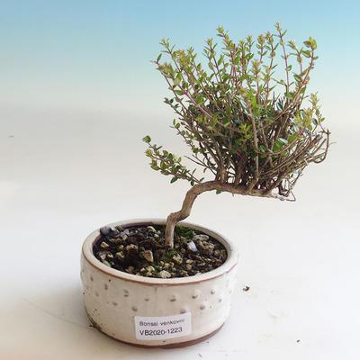 Outdoor bonsai-Lonicera nitida-Honeysuckle - 1
