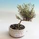 Outdoor bonsai-Lonicera nitida-Honeysuckle - 1/2