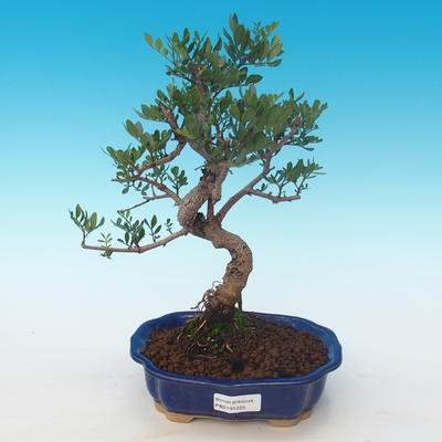 Indoor bonsai-Pistachio PB2191225 - 1
