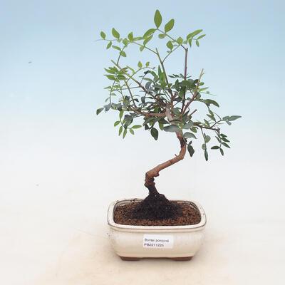 Room bonsai-pistachios - 1