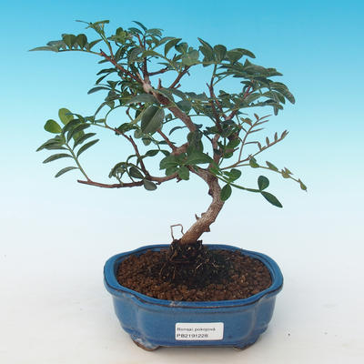 Indoor bonsai-Pistachio PB2191228 - 1