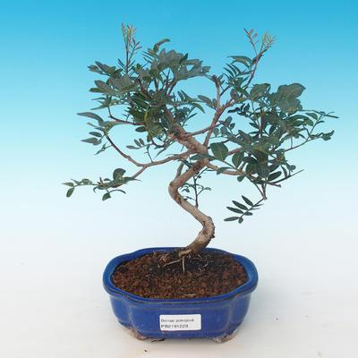 Indoor bonsai-Pistachio PB2191229 - 1