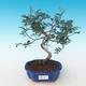 Indoor bonsai-Pistachio PB2191229 - 1/3
