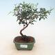 Room bonsai-pistachios - 1/2