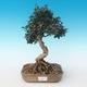 Indoor bonsai - Olea europaea sylvestris -Oliva European small leaf PB2191235 - 1/5