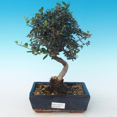 Indoor bonsai - Olea europaea sylvestris -Oliva European small leaf PB2191236 - 1