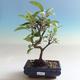 Outdoor bonsai - Malus halliana - Small-fruited apple tree - 1/5