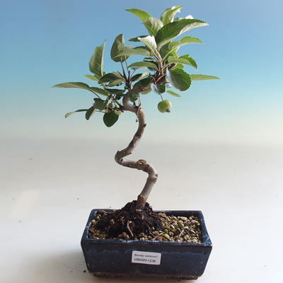 Outdoor bonsai - Malus halliana - Small-fruited apple tree - 1