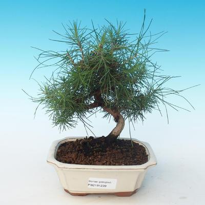 Indoor bonsai-Pinus halepensis-Aleppo Pine 405-PB2191239