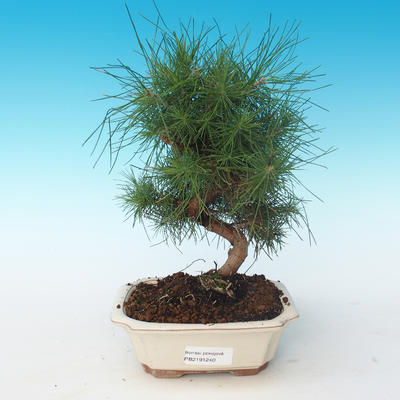 Indoor bonsai-Pinus halepensis-Aleppo pine 405-PB2191240
