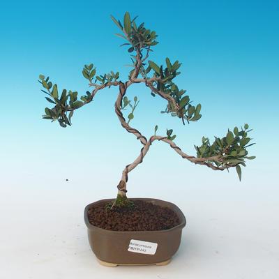 Indoor bonsai - Olea europaea sylvestris -Oliva European small leaf PB2191243 - 1