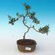 Indoor bonsai - Olea europaea sylvestris -Oliva European small leaf PB2191243 - 1/5