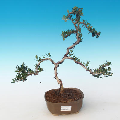 Indoor bonsai - Olea europaea sylvestris -Oliva European small leaf PB2191244 - 1