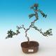 Indoor bonsai - Olea europaea sylvestris -Oliva European small leaf PB2191244 - 1/5