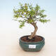 Room bonsai-PUNICA granatum nana-Pomegranate - 1/3