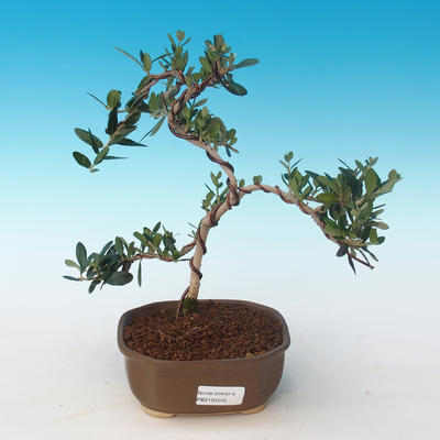 Indoor bonsai - Olea europaea sylvestris -Oliva European small leaf PB2191245 - 1