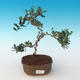 Indoor bonsai - Olea europaea sylvestris -Oliva European small leaf PB2191245 - 1/5