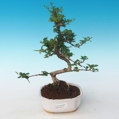 Indoor bonsai - Carmona macrophylla - Tea fuki 405-PB2191249 - 1