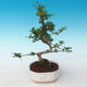 Indoor bonsai - Carmona macrophylla - Tea fuki 405-PB2191249 - 1/5