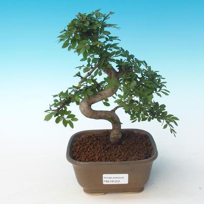 Indoor bonsai - Ulmus parvifolia - Small leaf elm 405-PB2191252 - 1