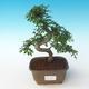 Indoor bonsai - Ulmus parvifolia - Small leaf elm 405-PB2191252 - 1/3