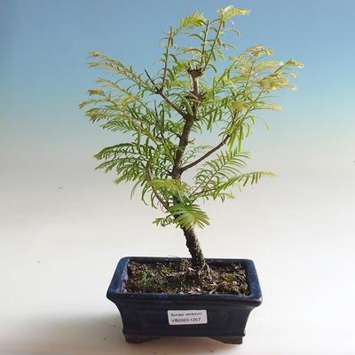 Outdoor bonsai - Yew double row - 1