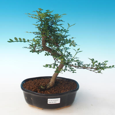 Indoor bonsai - Zantoxylum piperitum - Pepper tree PB2191263 - 1