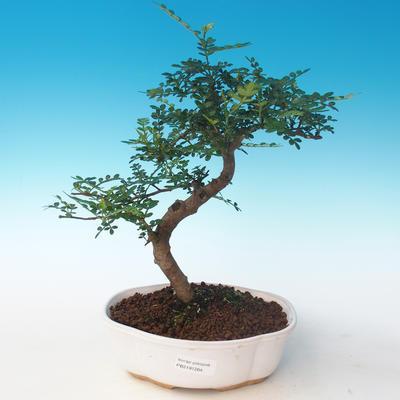 Indoor bonsai - Zantoxylum piperitum - Pepper tree PB2191264 - 1
