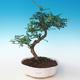 Indoor bonsai - Zantoxylum piperitum - Pepper tree PB2191264 - 1/4