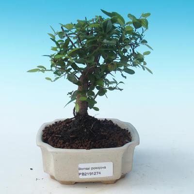 Indoor bonsai - Sagerécie thea - Sagerécie thea PB2191274 - 1