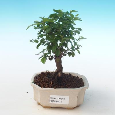 Indoor bonsai - Sagerécie thea - Sagerécie thea PB2191275 - 1